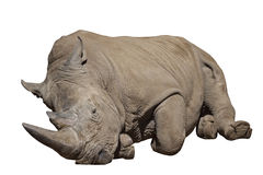 Rhino lying down isolated Stock Photo