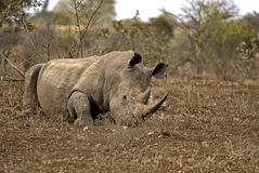 Rhino lying on the ground Royalty Free Stock Photography
