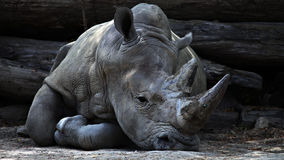 Rhino Lying on Ground during Daytime Stock Photo