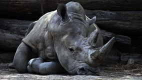 Rhino Lying on Ground during Daytime Stock Images