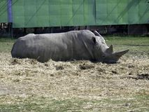Rhino lying on the ground royalty free stock images