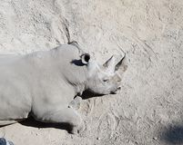 Rhino lying in the sand Royalty Free Stock Photography