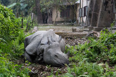 Rhino lying in a village garden, Chitwan National Park, Nepal Stock Images