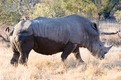 Rhino male Stock Image