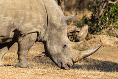 Rhino Animal Head Horn Wildlife. White Rhino a mature male close-up photo image. Endangered animal for its horns from poachers Royalty Free Stock Image
