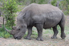 Rhino male Stock Images