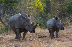 Rhino mam and baby. Rhino mam and her breeding, Kruger National Park in South Africa royalty free stock photos