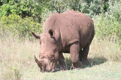 Rhino in the Masai Mara Stock Photography