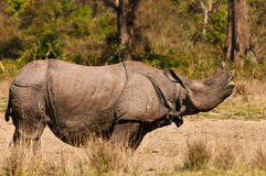 Rhino mating call Stock Images
