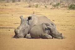 Free Rhino Missing A Horn Relaxing On The Savannah Stock Images - 171354654