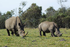 Rhino mom with baby. An African white Rhinoceros female grazing together with her one year old baby in a game park in South Africa Stock Photos
