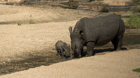 Rhino mom with calf. Muddy white rhinoceros mom with her calf drinking water from a small stream stock image