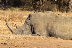 Rhino Morning Sleep Wildlife Royalty Free Stock Images