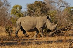 Rhino on morning stroll. African white rhino on morning stroll stock photos