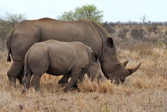 Rhino mother with 2 calf,Kruger NP,South Africa Royalty Free Stock Photo