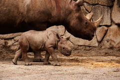 Rhino Mother and Baby. A baby Black Rhinoceros with its mother royalty free stock images