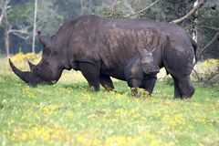 Rhino mother and baby royalty free stock images
