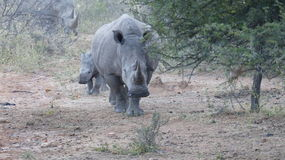 Rhino mother and baby Royalty Free Stock Photo