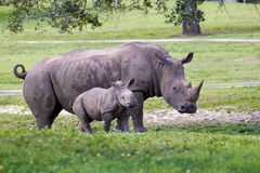 Rhino mother and calf in the park Royalty Free Stock Photography