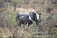 Rhino mother and calf in Pilanesberg National Park stock image