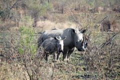 Rhino mother and calf in Pilanesberg National Park. White rhinoceros mother and calf in Pilanesberg National Park, South Africa stock photo