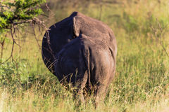 Rhino Mother Calf Rear Royalty Free Stock Image