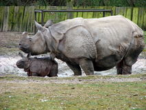 Rhino mother with newborn baby Stock Images