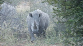 Rhino mother Royalty Free Stock Image
