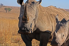 Rhino and mother walking in the field. In Africa royalty free stock photo