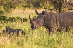Rhino mother Royalty Free Stock Photo