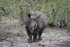 Rhino motionless Royalty Free Stock Photography