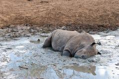 Rhino in mud. Wild white rhinoceros enjoying the cooling mud in the waterhole Stock Image