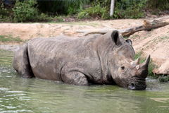 Rhino in the muddy water Royalty Free Stock Photo