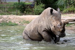 Rhino in the muddy water Royalty Free Stock Image