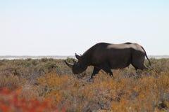 Rhino. Namibia, Ethosha National Park. Rhino male Stock Image