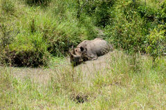 Rhino. In the national park lake nakuru Royalty Free Stock Photography