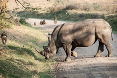 Rhino Royalty Free Stock Photo