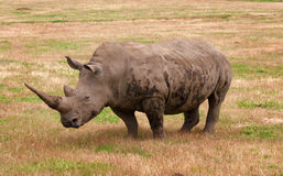 Rhino in nature Stock Images