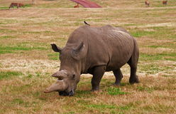 Rhino in nature Royalty Free Stock Photos