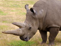 Rhino in nature Royalty Free Stock Images