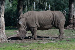 Rhino. Near big eucalyptus tree Royalty Free Stock Photo