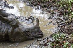 Rhino in Nepal Stock Images