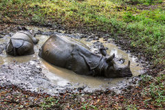 Rhino in Nepal Stock Photography