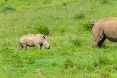 Rhino Calf Following Mother. Rhino newborn calf following mother summer wilderness landscape photo of protected wildlife animals Royalty Free Stock Image