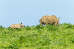 Rhino Calf Following Mother. Rhino newborn calf following mother summer wilderness landscape photo of protected wildlife animals Royalty Free Stock Photography