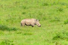 Rhino Newborn Calf Following. Mother summer wilderness landscape photo of protected wildlife animals Stock Image