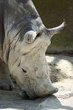 Rhino with no horn portrait Royalty Free Stock Images