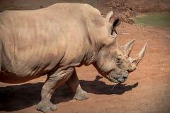 rhino imagen de archivo
