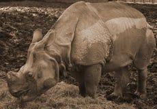 Rhino. Old rhino at the zoo Royalty Free Stock Photos
