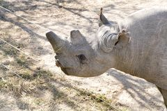 A Rhino at orphanage of Ol Pejeta Conservancy, Kenya. A blind black Rhinoceros kept at orphanage, Ol Pejeta Conservancy, Kenya Stock Photos